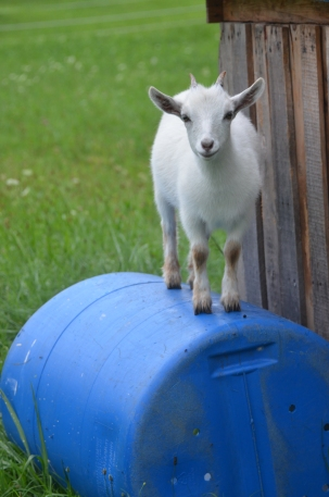 Goats on Barrell 20130720_0011