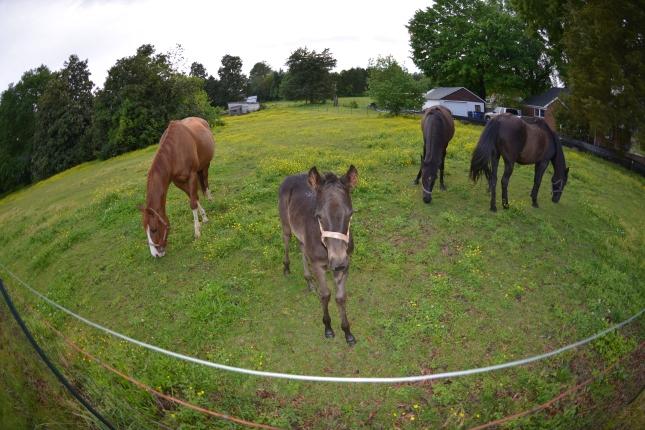 Horses foal Winston Salem 20130507 _0344
