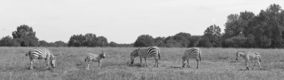 Zebras Zebra Kathy Campbell 20160824_0450 crop bw