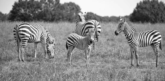Zebras Zebra Kathy Campbell 20160824_0460 bw