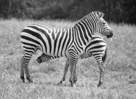 Zebras Zebra Kathy Campbell 20160824_0466 bw