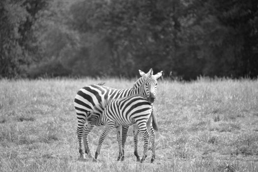 Zebras Zebra Kathy Campbell 20160824_0473 bw
