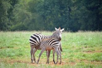 Zebras Zebra Kathy Campbell 20160824_0473