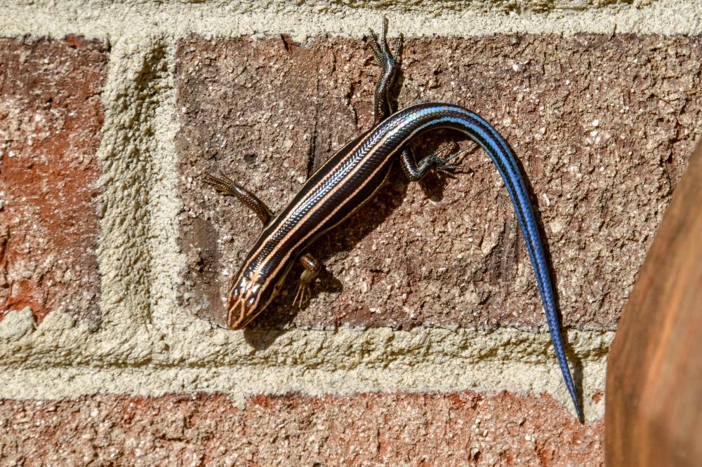 Salamander on wall 20180222_2219 e2